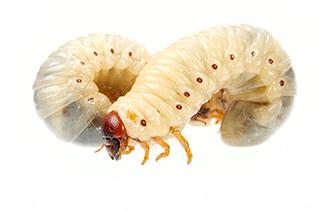 カブトムシの幼虫を育てるポイント