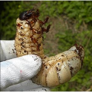 ヘラクレスの幼虫 飼育環境