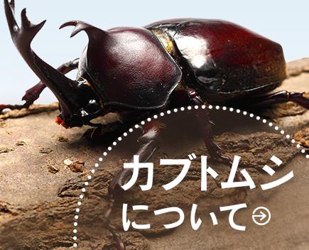 幼虫+飼育セット