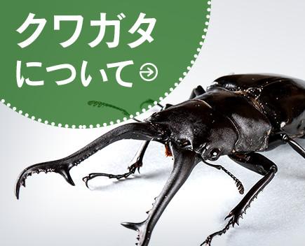 ヘラクレス 幼虫