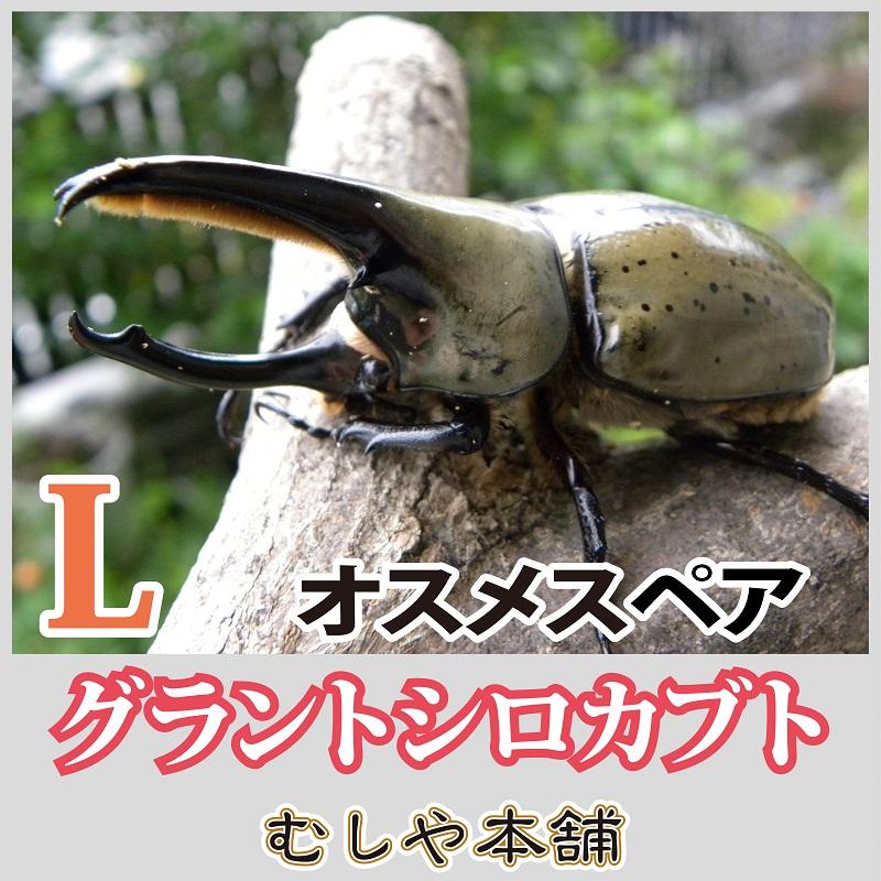 カブトムシ 幼虫 大き さ