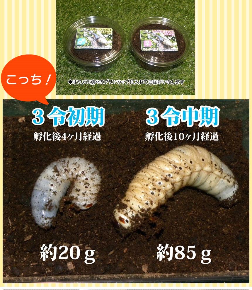 カブトムシ の 幼虫 の 育て 方