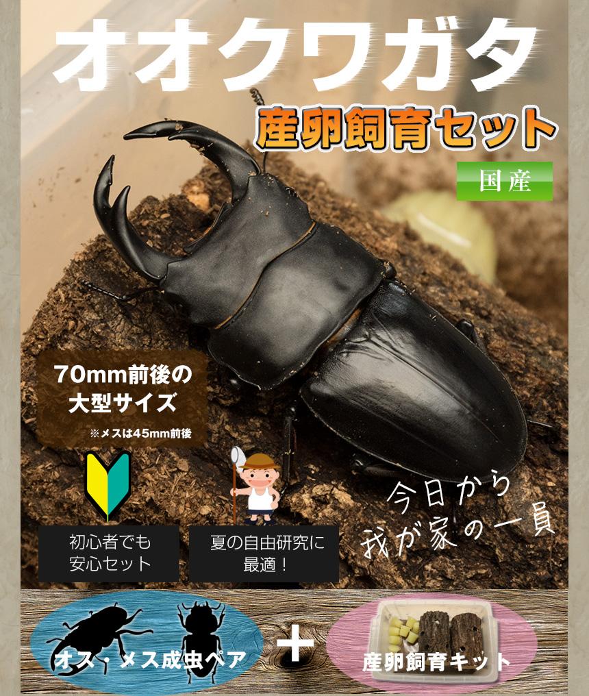 セット カブトムシ 飼育